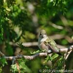 Grimpy Hummingbird-3