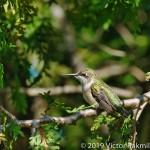 Grimpy Hummingbird