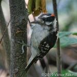 Hairy Woodpecker-2
