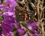 Painted Lady-2