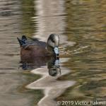 Widgeon In Fall-2