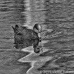 Widgeon In Fall-3