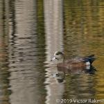 Widgeon In Fall