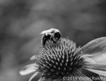 Bee on Echincea-2