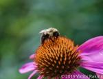 Bee on Echincea
