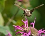 HummingBird Moth-2