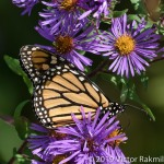 Monarch in thelight-2