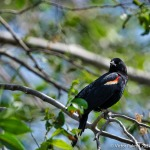 Blackbird-2
