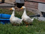 Peknin Ducks